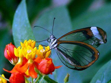 mariposa-traslucida